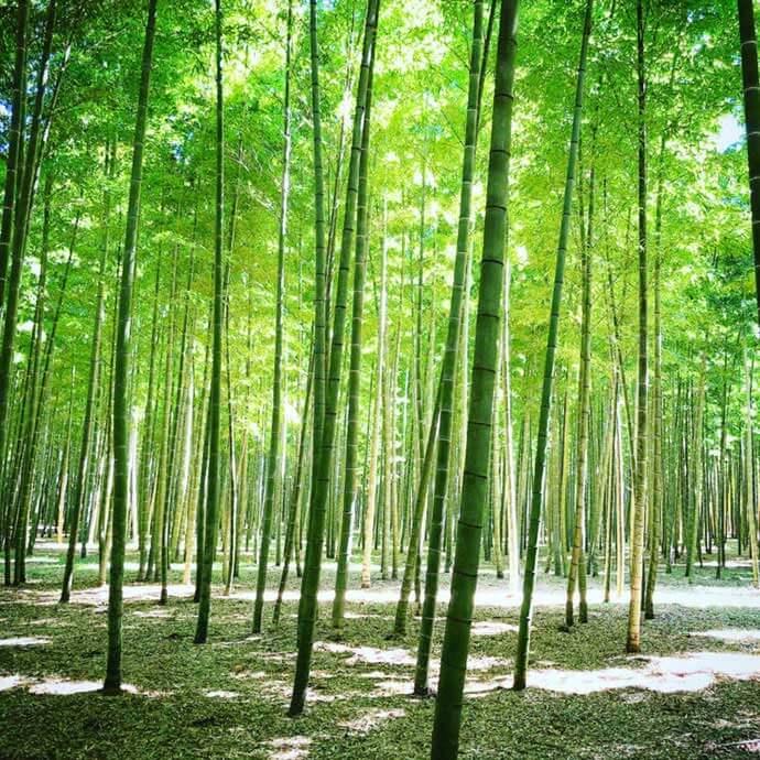 栃木県宇都宮市の若山農場の竹林