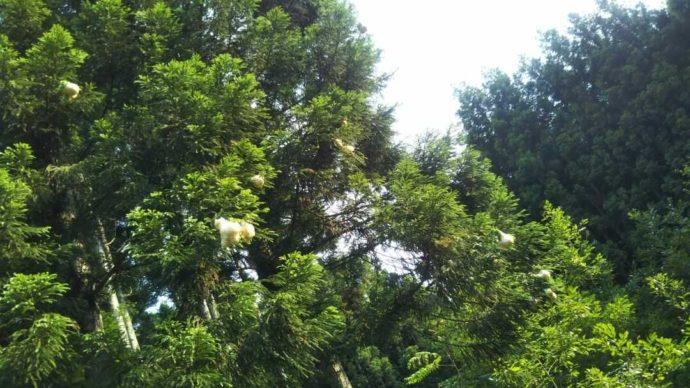 芦見谷芸術の森に暮らす準絶滅危惧種モリアオガエルが産卵する池の上の木