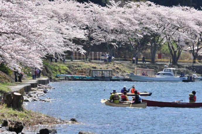 約800本の桜が見られる海津大崎桜並木