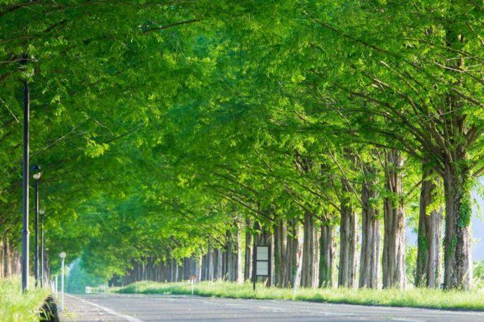 滋賀県高島市にある藤樹の里あどがわからアクセスしやすいメタセコイア並木