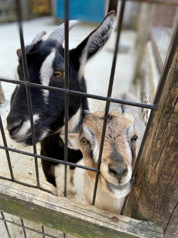 道の駅 アグリパーク竜王で出会えるヤギのキキとララ