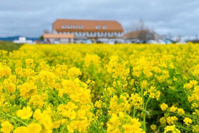 道の駅 アグリパーク竜王の菜の花畑