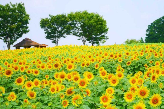 愛知牧場敷地内で夏に見られる満開のひまわり