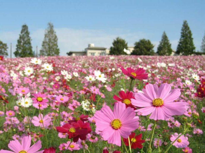 愛知牧場で秋に楽しめるコスモスの花畑