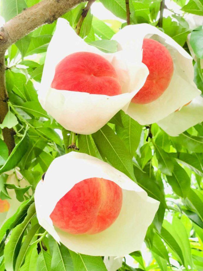 観光農園あかぎおろしで育てている桃