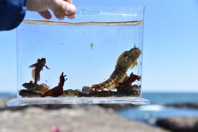 大洗海の大学の磯遊び教室で見られる海の生き物たち