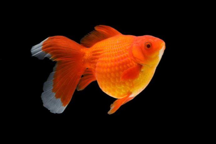 「環境水族館アクアマリンふくしま」の金魚・パールブリストル
