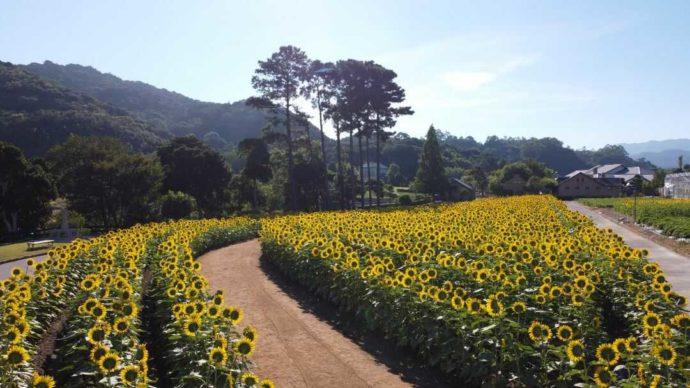 淡路ファームパーク イングランドの丘にある5万本のひまわり畑