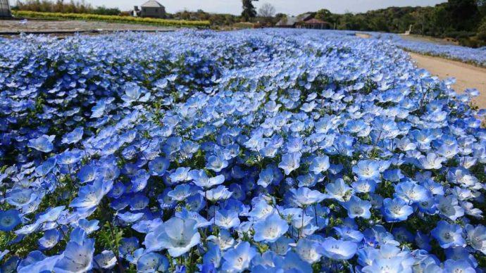 兵庫県南あわじ市にある淡路ファームパーク イングランドの丘のネモフィラ