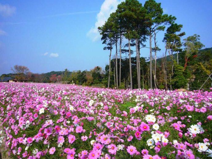 兵庫県南あわじ市にある淡路ファームパーク イングランドの丘のコスモス畑