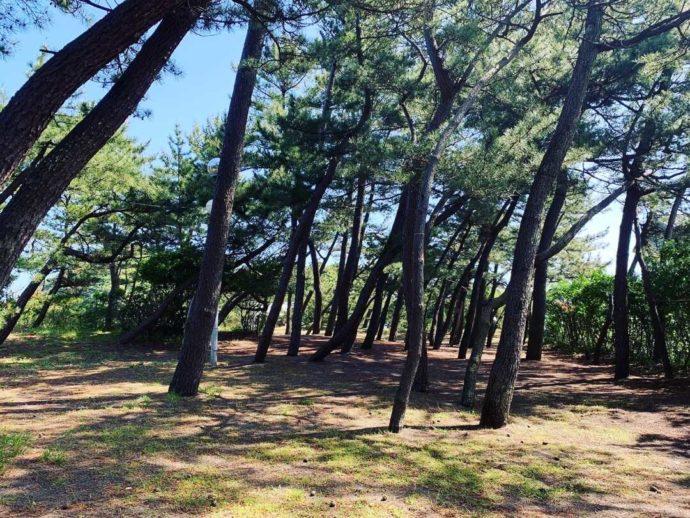 弁天浜キャンプ場の松林フリーサイトに木漏れ日が落ちる様子