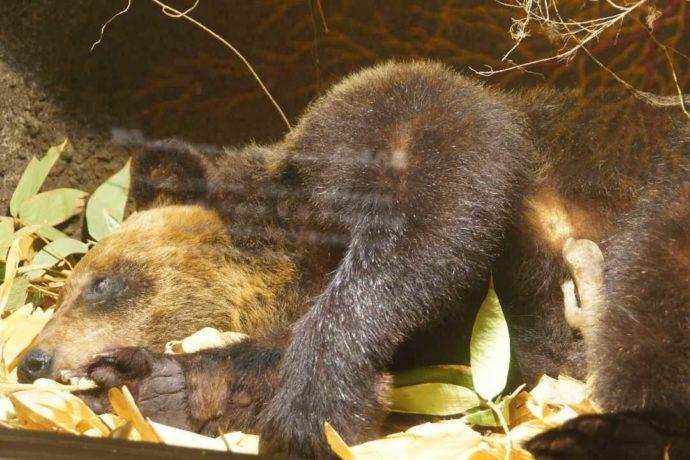 美幌博物館のジオラマで冬眠するヒグマ
