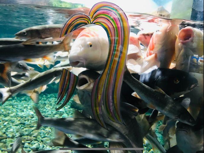 サケのふるさと 千歳水族館のおすすめ撮影スポットアマビエコイ