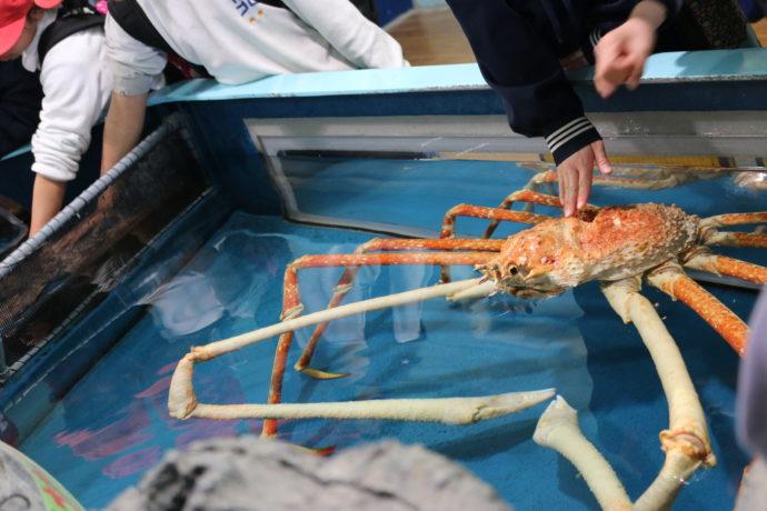 竹島水族館のタッチプールでは深海生物に触ることができる