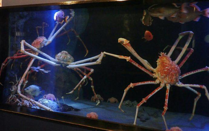 竹島水族館の人気者・大型タカアシガニ