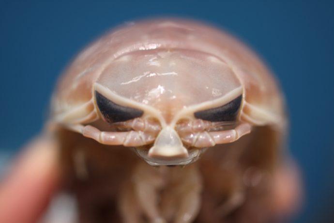 竹島水族館で触れることができるオオグソクムシ