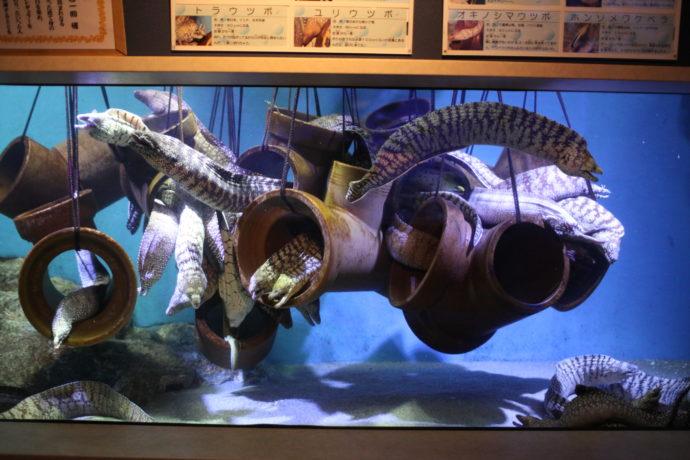 竹島水族館のユニークなウツボまみれ50匹水槽