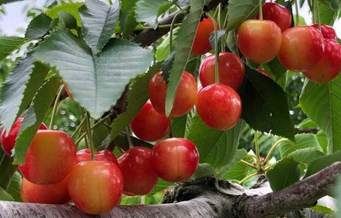 北海道余市町にあるニトリ観光果樹園で南陽がたわわに実った様子