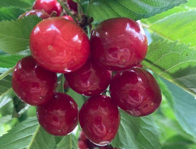 北海道余市町にあるニトリ観光果樹園で育てられている紅秀峰