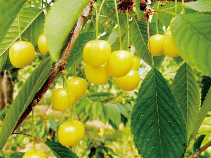 北海道余市町にあるニトリ観光果樹園で育てられている月山錦