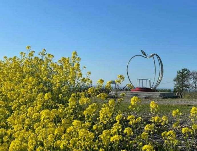 北海道余市町にあるニトリ観光果樹園で満開になった菜の花