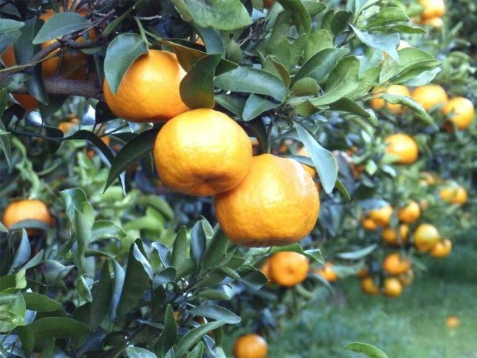 静岡県賀茂郡にある「ふたつぼり」で栽培されているぽんかん
