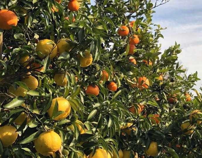 静岡県賀茂郡にある「ふたつぼり」のオレンジの木