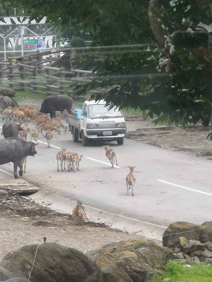 群馬サファリパークの夕暮れサファリで気ままに歩く動物たち