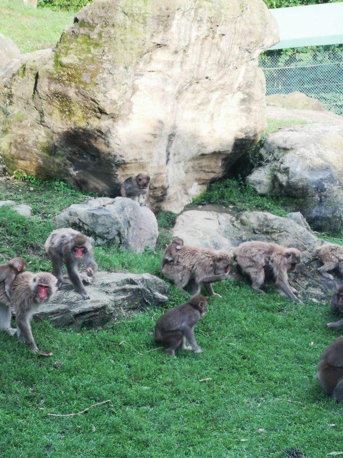 群馬サファリパークの夕暮れサファリで見られる猿たちの様子