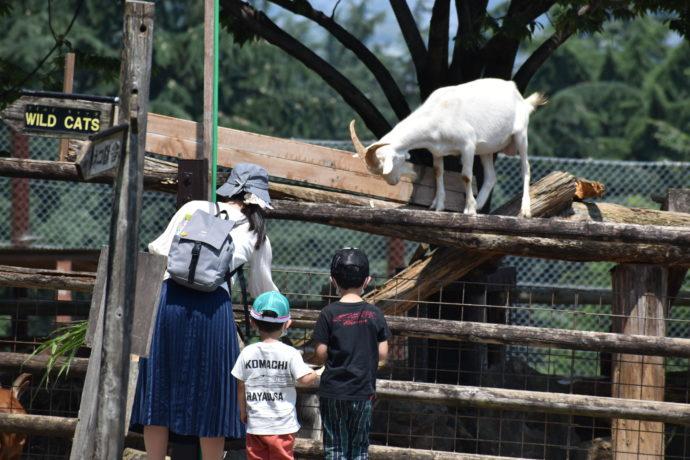 群馬サファリパークではヤギを間近に見られる
