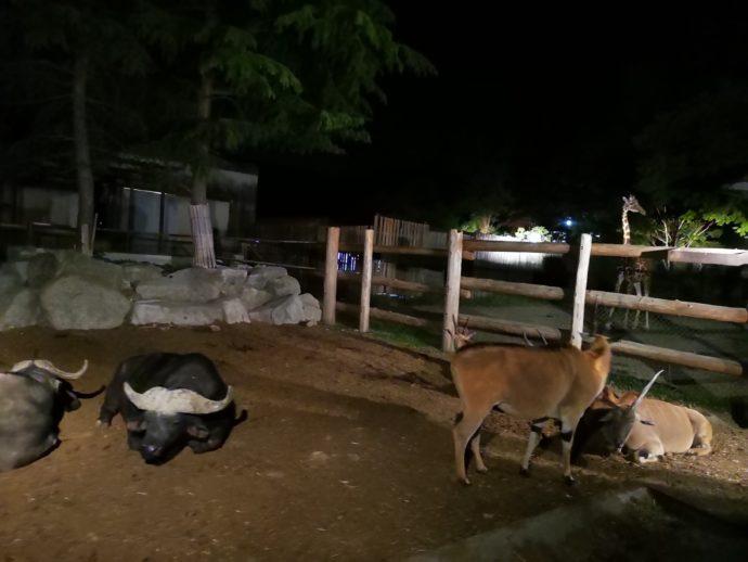 群馬サファリパークのナイトサファリ