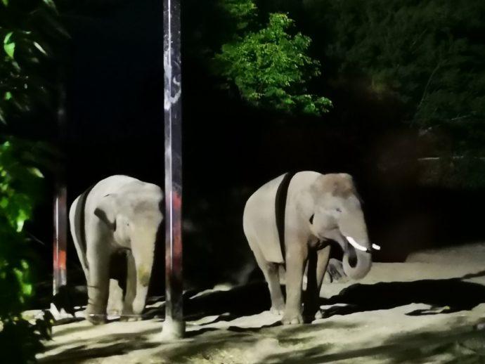 群馬サファリパークのナイトサファリではゾウの姿を見られる