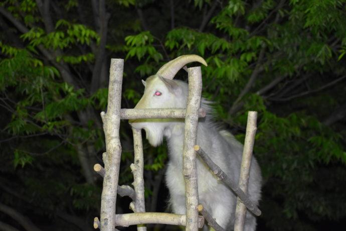 群馬サファリパークのナイトサファリで見られる迫力満点のヤギ