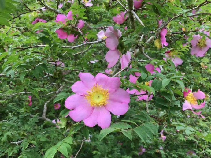 箱根やすらぎの森の敷地内に咲くサンショウバラ