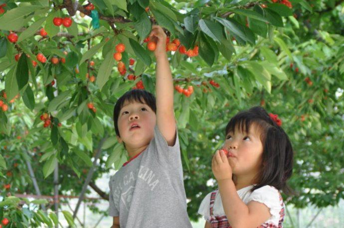 原田農園でさくらんぼを収穫する兄妹