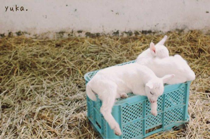 ハイジ牧場ですやすや眠る仔ヤギ