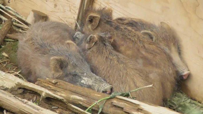 茨城県石岡市にある東筑波ユートピアの赤ちゃんイノシシたちが隅っこに集まる様子