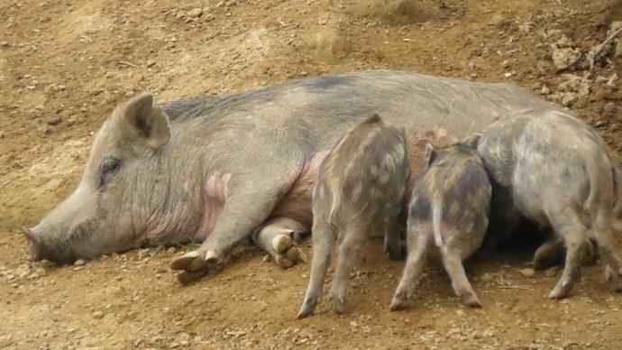 茨城県石岡市にある東筑波ユートピアの赤ちゃんイノシシと横たわる母イノシシ