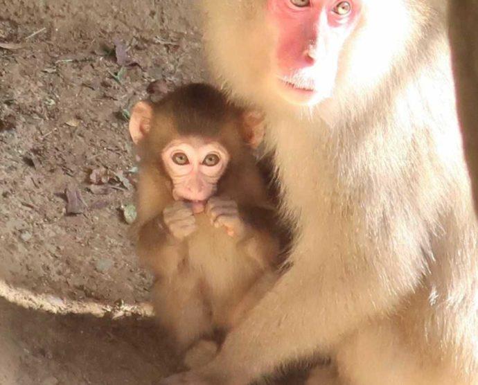 茨城県石岡市にある東筑波ユートピアの猿の親子