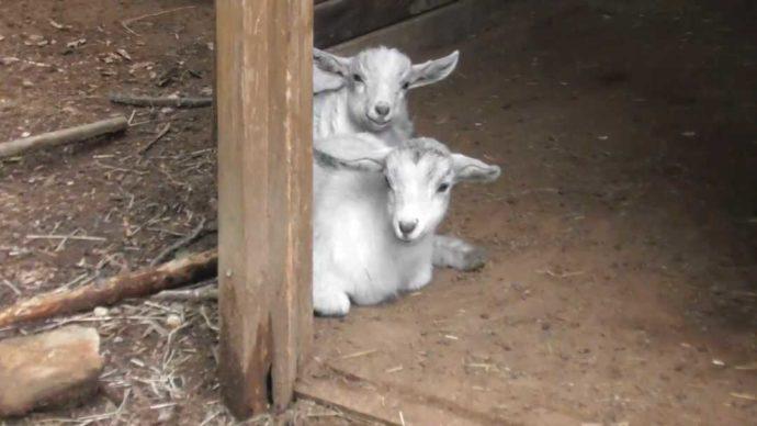 茨城県石岡市にある東筑波ユートピアのヤギ