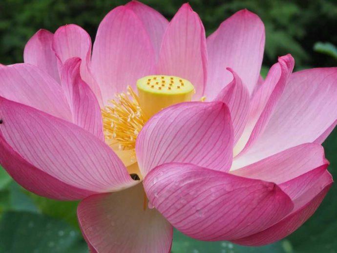 寳光寺 鹿野大佛の西参道に咲く蓮の花