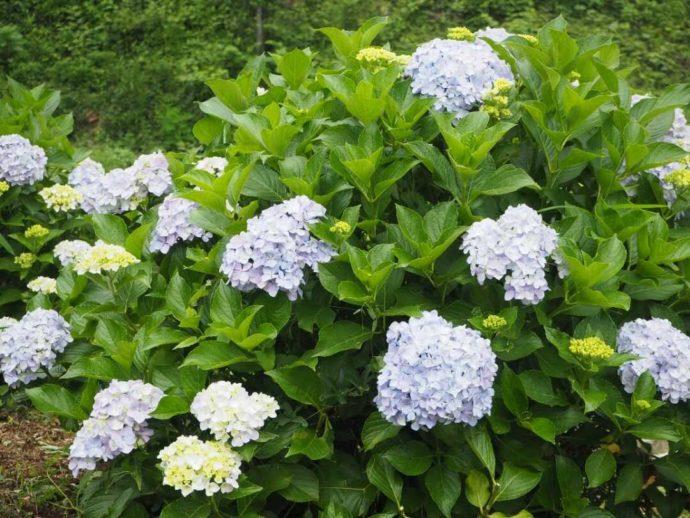 寳光寺 鹿野大佛に咲く紫陽花