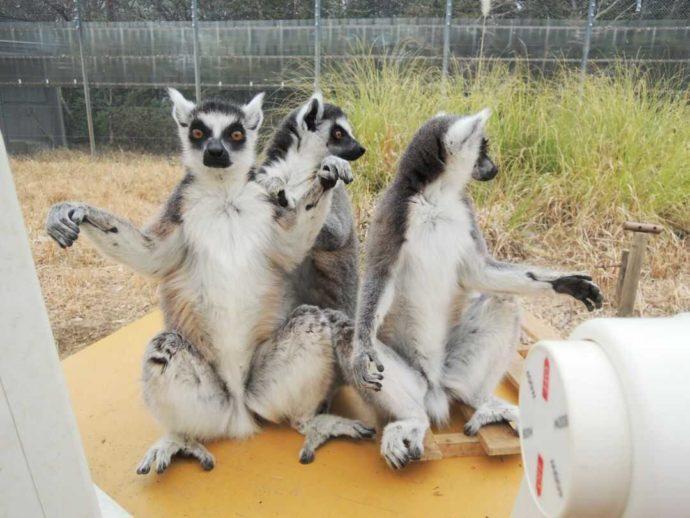 お座りしている日本モンキーセンターのワオキツネザル3匹