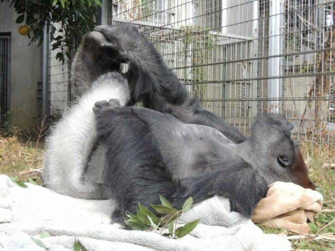 日本モンキーセンターの檻の中で寝転がるゴリラのタロウ