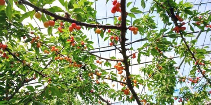 神宮寺観光果樹園で栽培されている果物や野菜の収穫方法・収穫の難易度
