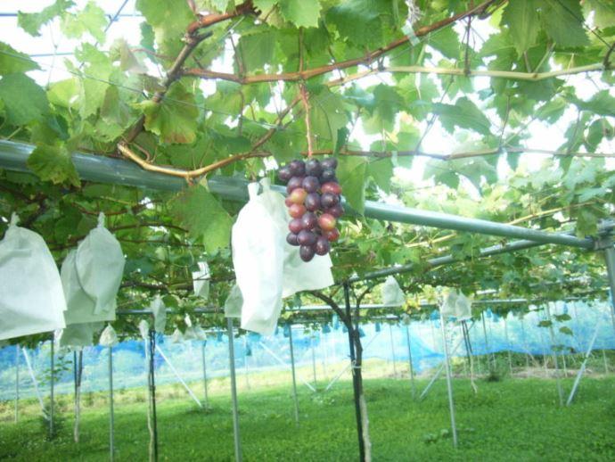 神宮寺観光果樹園の栽培方法の拘り・農薬の有無