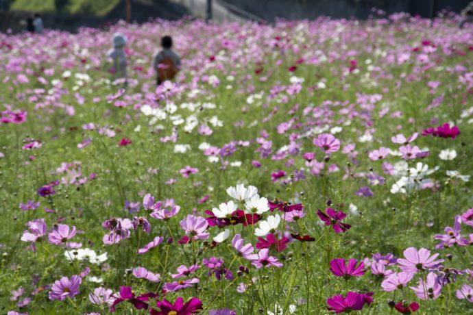 慈眼寺公園の花畑