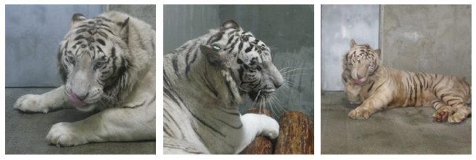 平川動物公園で飼育されているホワイトタイガー