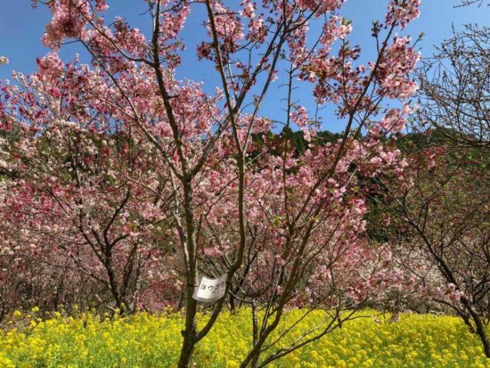 西川花公園の敷地内に咲いている桜と菜の花