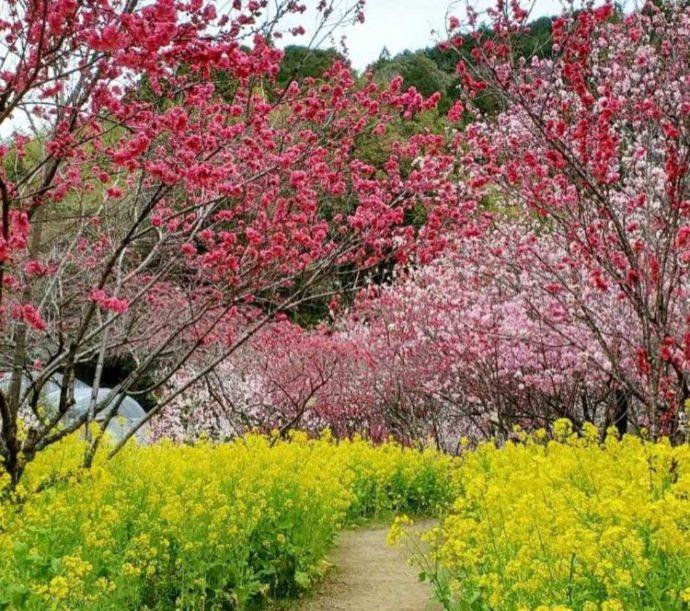 ハナモモと菜の花が咲く中を歩けるようにつくられた歩道